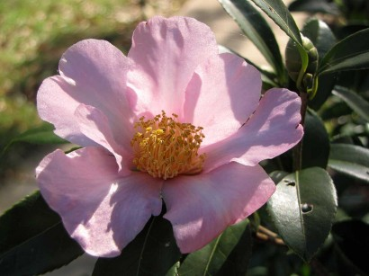 picture of Camellia oleifera 'Winter's Star' bloom