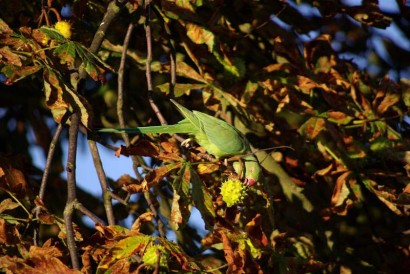 picture of rose-ringed parakeet in the wild