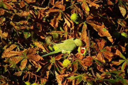 photograph of ring-necked parakeet