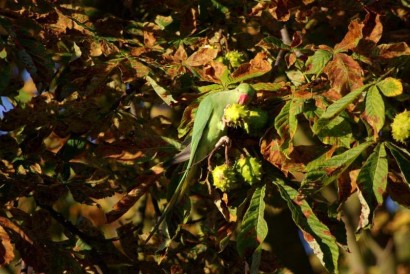 photo of ring-necked parakeet eating horse chestnut