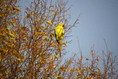 photo of ring-necked parakeet