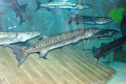 photo of Great Barracuda