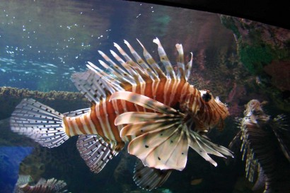 picture of lionfish