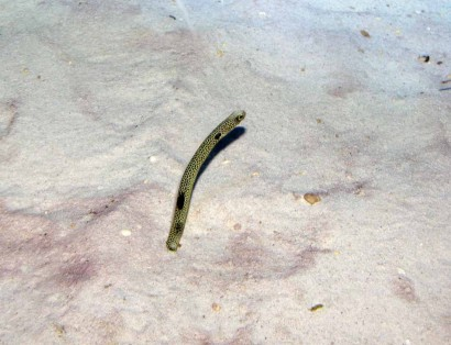 photo of spotted garden eel