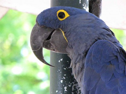 picture of blue macaw