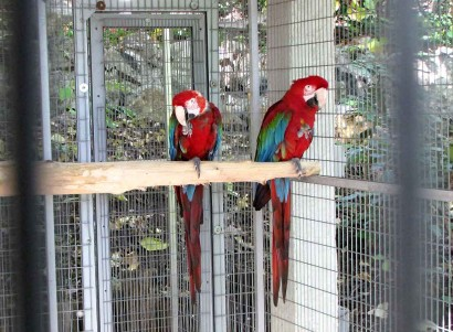 picture of green wing macaws