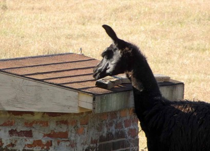 picture of llama eating maypops.