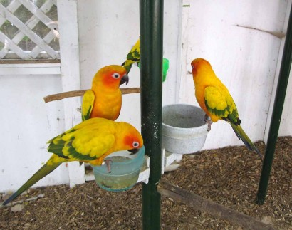 picture of sun conures