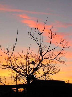 picture of chickens roosting in tree