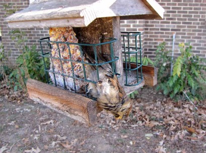 picture of bird caught in suet feeder