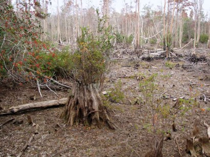 picture of tussock growth in cypress stump