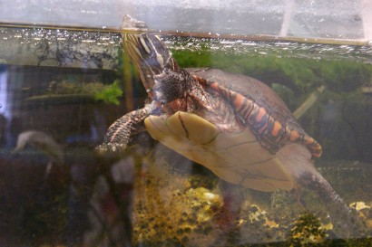 picture of turtle in aquarium