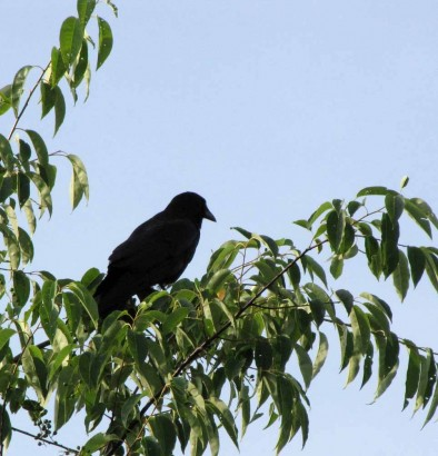 picture of a blackbird