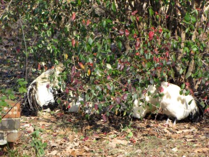 picture of chickens under shrub