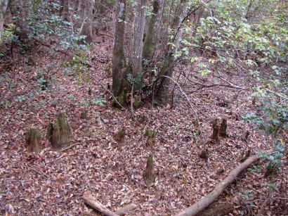 picture of cypress knees