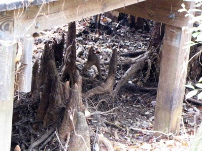 picture of Cypress Knees under Boardwalk