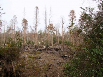 picture of dry okefenokee swamp