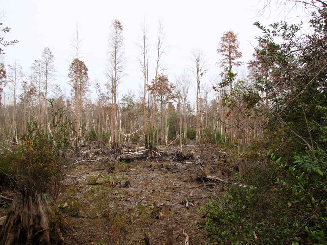 the okefenokee swamp The okefenokee swamp is north america's largest swamp when the atlantic ocean receded from southeastern georgia and florida, it left a lake of salt water in a shallow, saucer-shaped depression.