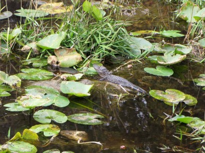 photo of Little Alligator in Okefenokee Swamp