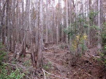 photo of dry wetlands at okenenokee swamp