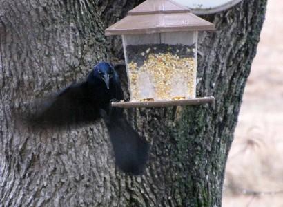 picture of blackbird
