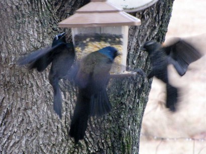 picture of 3 blackbirds