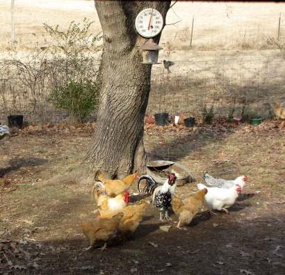 picture of chickens under bird feeder