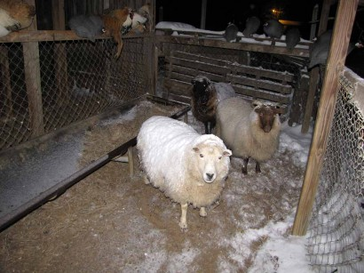 picture of snowy sheep at night