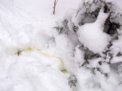 picture of dog pee in snow