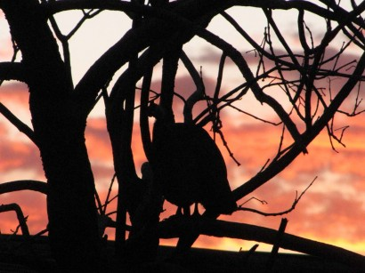 picture of guinea in tree at sunset