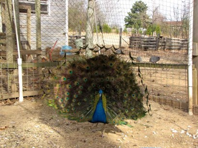 picture of young peacock