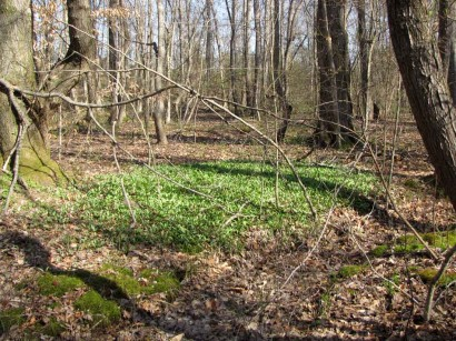 picture of patch of green plants in woods