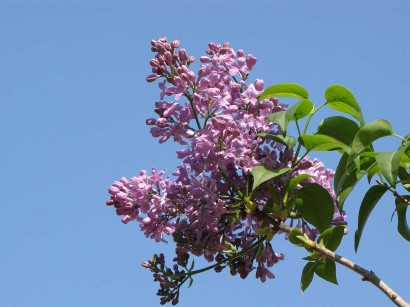 picture of lilac