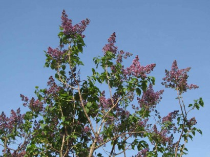 picture of lilac bush