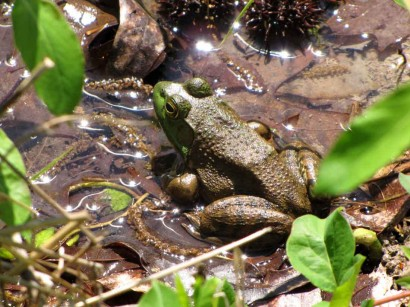 picture of frog on edge of pond
