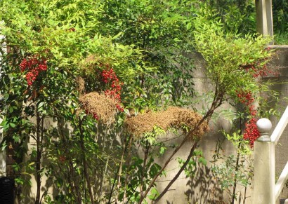 picture of nandina bamboo