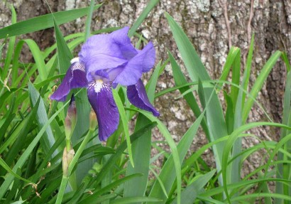 picture of purple iris bloom
