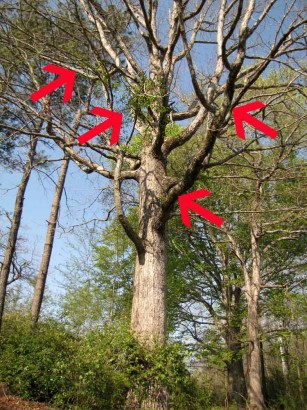 Picture of rambler in tree