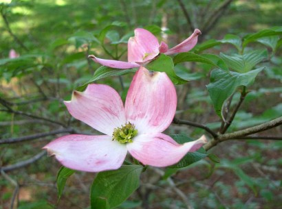 picture of red dogwood blooms