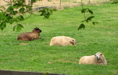 pictue of sheep laying in grass