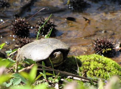 picture of water turtle
