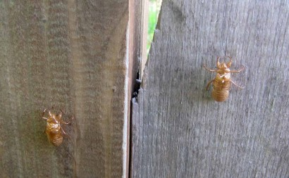 picture of cicada exoskeletons
