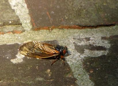 picture of periodic cicada