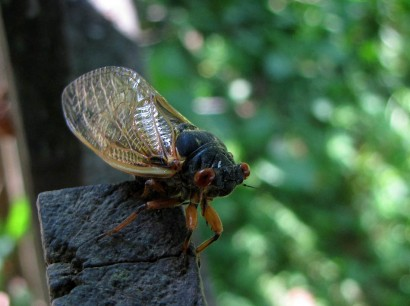 picture of Magicicada cicada adult