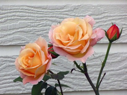 picture of Country Lady Rose blooms