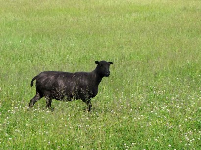 picture of newly sheared black sheep