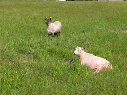 picture of two newly sheared sheep