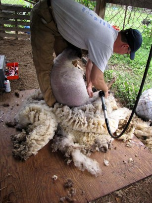 picture of man shearing sheep