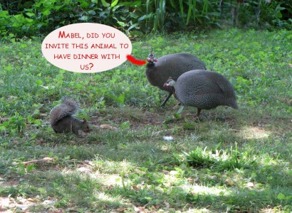 picture of squirrel and two guinea fowl birds