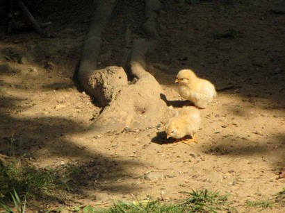 baby chickens picture